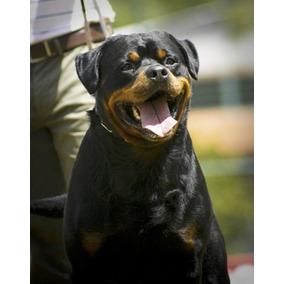 Rottweiler Canil Rottland O Que Existe De Melhor Na Alemanha