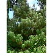 10 Mil Semillas Aprox. Pinus Pseudostrobus - Pino Real