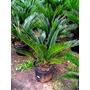 Muda De Palmeira Cica Revoluta - Com 50cm De Altura - Jardim