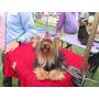 Cachorritos Yorkshire Terrier Inscritos Y Con Chip