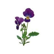 Mudas Desta Violeta Antiga E De Rara Perfume 35,00 (3)mudas