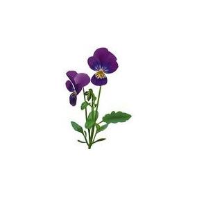Mudas Desta Violeta Antiga E De Rara Perfume 20,00 Muda