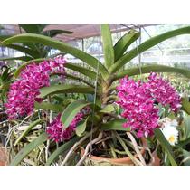 Orquídea Ryncosthillis Gigantea - Muda Jovem + Brinde !!!