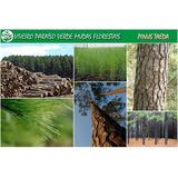 Mudas Pinus Elliottii (100 Unidades) Resina/reflorestamento