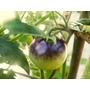 Tomate Azul Sementes Raras Plantamundo