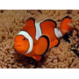 Peixe Palhaço Amphiprion Ocellaris ( Nemo) 2 A 3 Cm Marinho