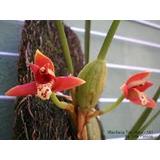 Muda De Orquídea Maxilaria Tenuifolia Com Flores 35,00