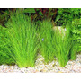 Planta Tapizante De Acuario Eleocharis Exelentes Raices Wii