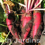 Sementes De Beterraba Gigante - Bulbos Mudas Rizomas Plantas