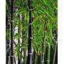 Phyllostachys Nigra / Caña Bambú Negra. 1,8 M De Altura.