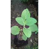 Planta De Boldo De La India Plectranthus Barbatus Medicinal
