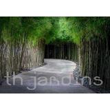 Sementes De Bambu Mosso- Phyllostachys Pubescens-bonsai Muda