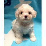 Cachorros French Poodle Super Chiquitos, Churones Con Vacuna