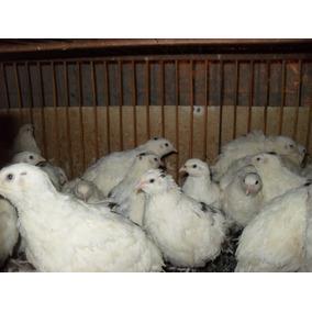 Ovos De Codornao Branco