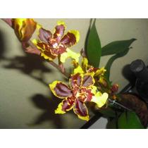 Orquídea Colmanara Adulta - Lindas Flores - Hibr. Excelente.