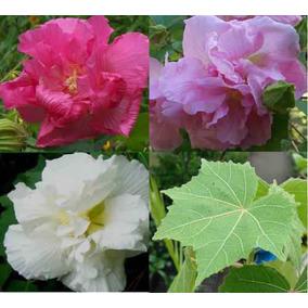 Hibiscus Mutabilis Hibisco Rosa Louca Sementes Para Mudas
