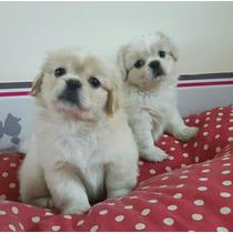 Cachorro Blanco Pekines Belgrano
