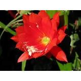 Mudas Jovens De Dama Da Noite Vermelha Epiphyllum Ackermani