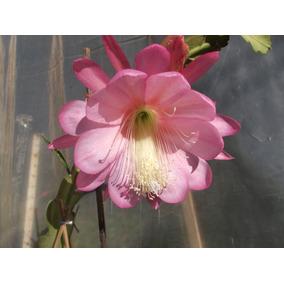 Mudas De Dama Da Noite Rosa Epiphyllum Gigante Flirtation