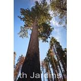 Sementes De Sequoia Gigante-hormonios Mudas Bulbos Planta