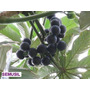 Muda Da Fruta Rara Mapati, Imbaúba-de-vinho, Uva Da Amazonia