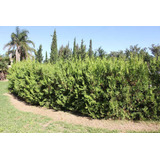 Thuja Occidental Compactas -cerco Vivo. 1 M. Vivero Forestal
