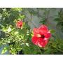 Ibiscos Hawaiano Rojo Naranja Dobles Hibisco