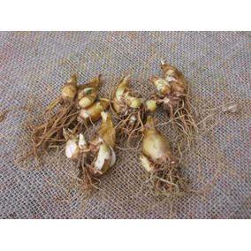 10 Bulbos De Nardo(polianthes Tuberosa)