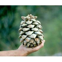 100 Semillas Pinus Maximartinezii - Maxi Piñon Codigo 918-a