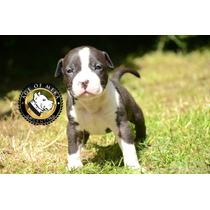 Pitbull Blue Registro Ukc Criadero Age Of Meka