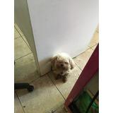 French Poodle Tacita De Te