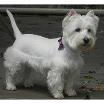Venda De Filhotes Da Raça West Highland White Terrier.