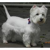 Venda De Filhotes Da Raça West Highland White Terrier.