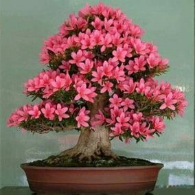 Sementes De Azaléia - Flor Bonsai - Sakura - Lindas P/ Muda