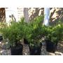 Juniperus Chinensis Para Bonsai 4 Lts.