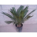 Palmera Cica Revoluta-planta Ornamental-jardines
