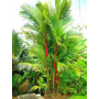 30 Sementes Palmeira Laca Red - Cyrtostachys Para Mudas
