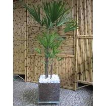 Palmeira Ráfis Vaso De Vidro 35x35 Só Sp