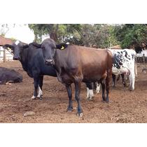 Vacas Paridas, Solteiras E Novilhas Nelore