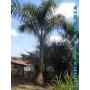 20 Mudas Palmeira Imperial 60cm Altura