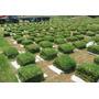 Grass Americano E Instalación