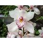 Muda De Orquídea Cymbidium Branco - 10 A 15cm - Promoção!