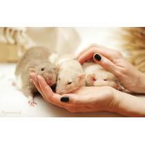 Rata Blancas Y Varios Colores Para Mascota Ideal!!!