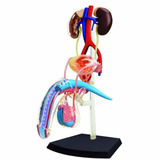 Modelo Anatomico Aparato Reproductor Masculino 4d Importado