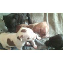 Cachorras Pitbull