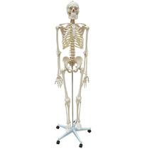 Esqueleto Padrão 170 Cm Aproxim Modelo Anatômico Com Rodas