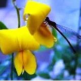 5.000 Sementes Crotalária Breviflora Legítima Veja As Fotos