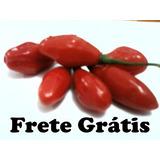 Pimenta Fidalga Vermelha - 15 Sementes - Frete Grátis