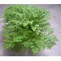 Planta De Helecho Arroz En Maceta Plastica Interior Tierra