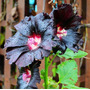 Sementes De Malva Negra Raríssima Planta Jardim Mudas Frutas